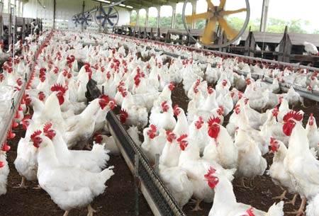 Exportação de frango cai em volume, mas cresce em valor | ANBA