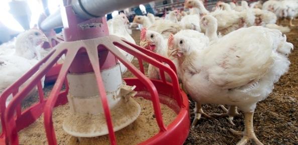Brasil é o segundo maior produtor mundial de frango | CNA Brasil