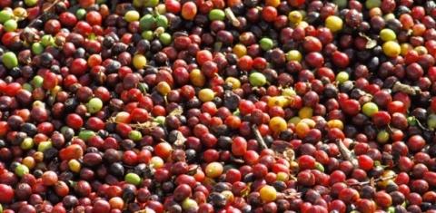 Exportação mundial de café cresce 8,8% em maio, confirma OI | CCNA Brasil