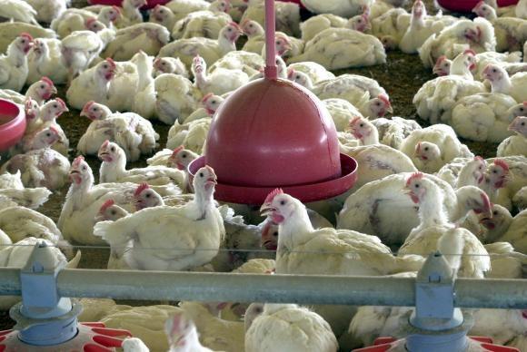 Análise confirma segurança alimentar de aves vendidas para a UE | Portal Brasil