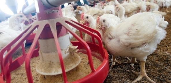 Carne de frango: embarques de junho aumentam 7,68% | CNA Brasil