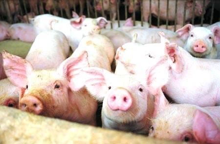 Santa Catarina se destaca em exportação de carne suína e de aves e busca profissionais capacitados | Portal Suínos e Aves