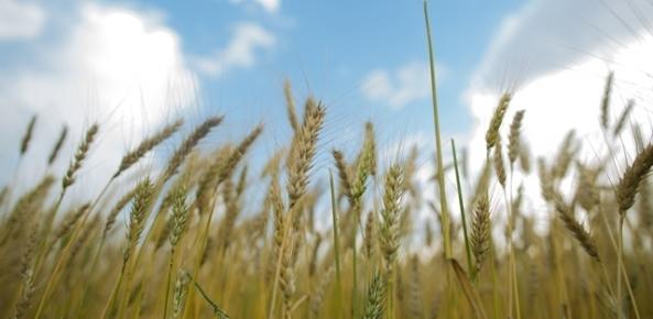 Argentina chega a 95,3% do trigo plantado a nível nacional | CNA Brasil
