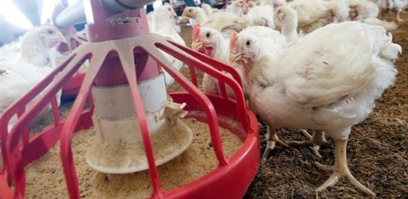 Brasil exporta quantidade histórica de frango em agosto | CNA Brasil