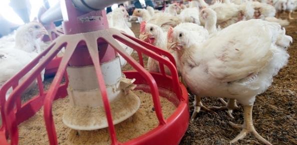 Carne de frango: somente cortes superam embarques de 2016 | CNA Brasil