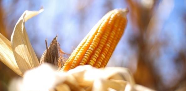 Cargill estima exportação de milho do Brasil em recorde de 35 mi tons em 2017 | CNA Brasil